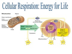Where Does The Reaction Take Place In Cellular Respiration