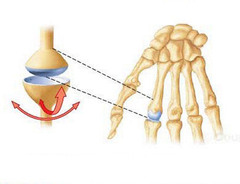 Condyloid Joints